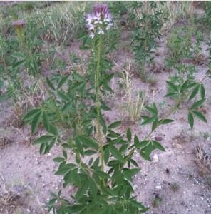 wild spinach plant