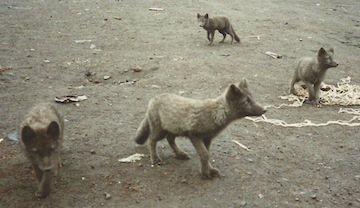 Arctic FoxesAlaska