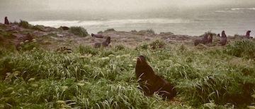 Fur Seals 2